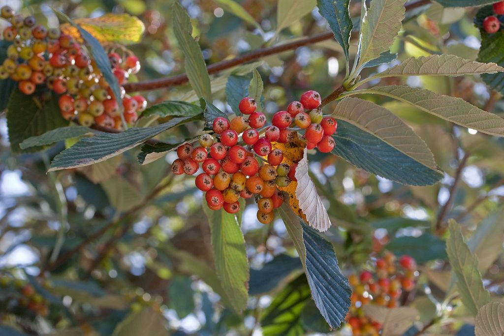 A lisztes berkenye az Év fája 2021-ben!